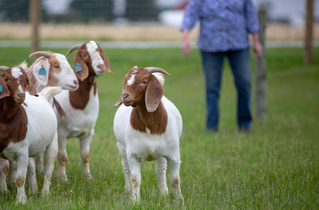 Goats essential oils