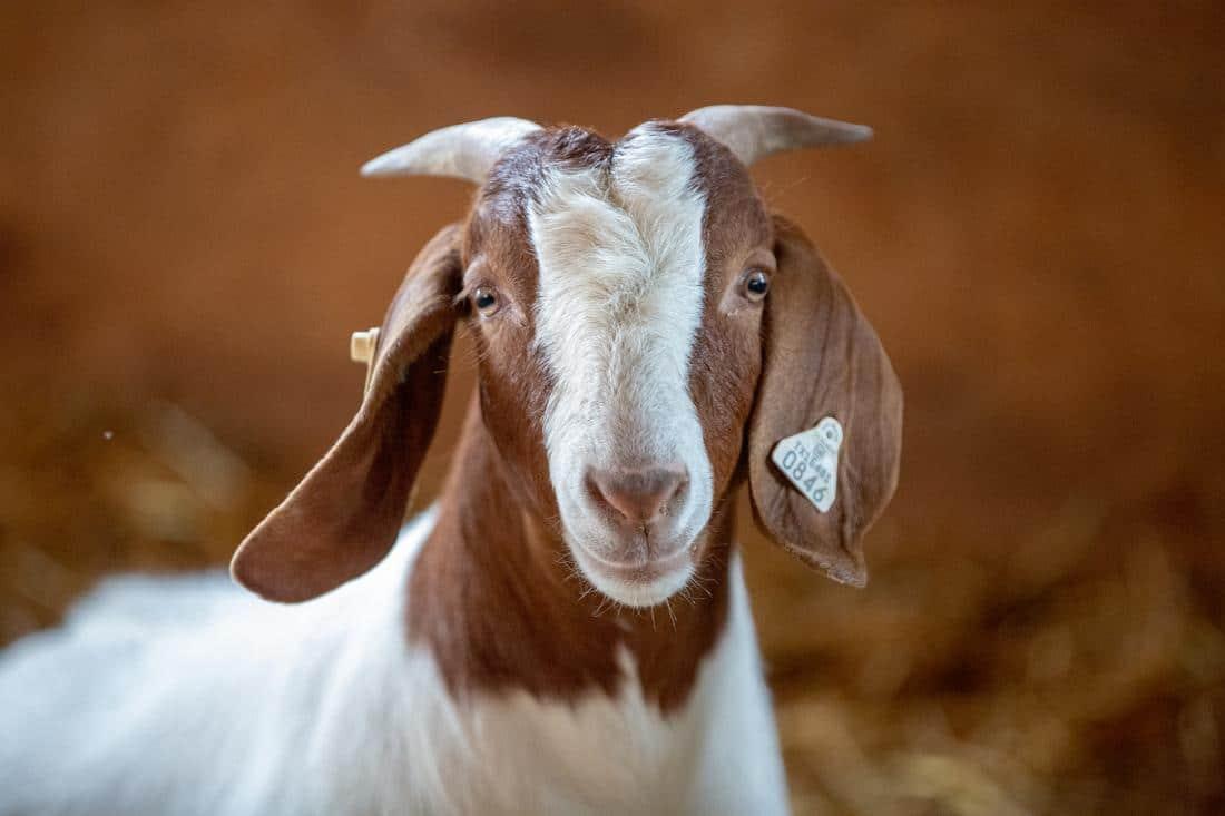 goats pre probiotics