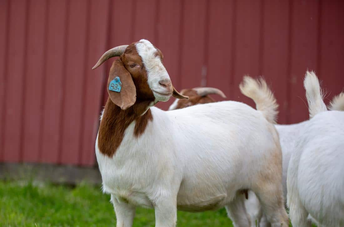 Goats Trace Minerals