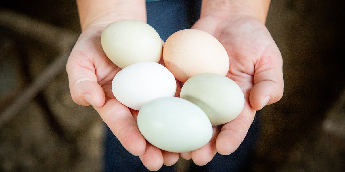Hand holding eggs laid by chickens