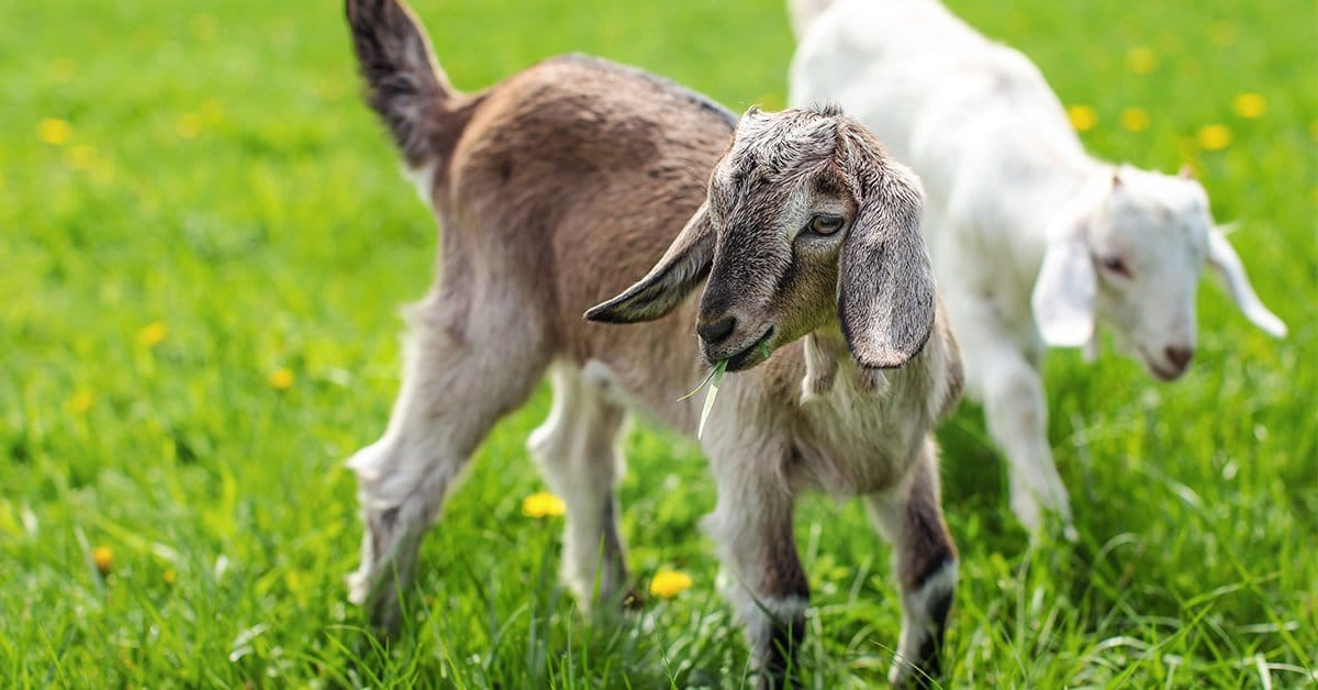 baby goats playing on the farm